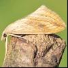 Огнівка хрестоцвіті польова (evergestis forficalis)