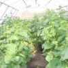 Огірки до нового року або як вирощувати огірки в теплиці в будь-який час року