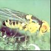 Пасльоновий мінер (liriomyza solani)
