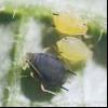 Персикова або оранжерейна тля (myzodes persicae)