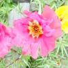 Притулок - ідеальний квітка для вуличних горщиків