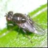 Прибережна муха (ephydra macellaria)