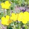 Ранункулюс - квіти наречених