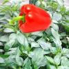 Секрети вирощування солодкого перцю, формировка