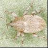 Семяєд жовтий люцерновий (tychius flavus)