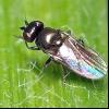 Шведська муха, ячмінна муха, вівсяна муха (oscinella frit, o. Pusilla, oscinella)
