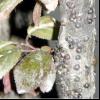 Сливова ложнощитовка (sphaerolecanium prunastri)