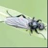 Сливова толстоножка (eurytoma schreineri)