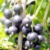Смородина чорна: сорти, вирощування та догляд