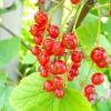 Смородина червона і біла: особливості вирощування та догляду, сорти