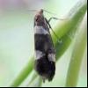 Смородинова почковая моль (lampronia capitella)