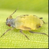 Сорговий тля (rhopalosiphum maidis)