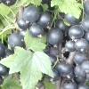 Сорти чорної смородини