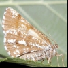 Соснова п'ядун (bupalus piniarius)
