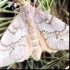 Сосновий шовкопряд (dendrolimus pini)