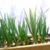 Свіжий зелений лук на вашому вікні - як виростити цибулю в домашніх умовах