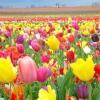 Тюльпани: посадка та вирощування в саду, сорти, боротьба з шкідниками та хворобами