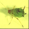Попелиця яблунева зелена (aphis pomi)