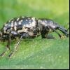 Товстоногий, донниковий семяєд (tychius crassirostris)