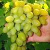 Виноград ювілей-70