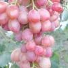 Виноград ювілей херсонського дачника