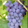 Виноград юпітер