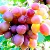 Виноград - корисна рослина