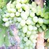 Виноград захват овальний