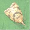 Виноградна листовійка (sparganothis pilleriana)