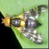 Вишнева муха (rhagoletis cerasi)