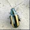 Смугаста хлібна блошка (phyllotreta vittula)