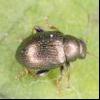Стеблевая хлібна блошка (chaetocnema hortensis)