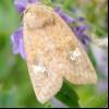 Ярова совка (amphipoea fucosa)