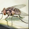 Пшенична муха (phorbia securis)