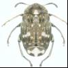 Горохова зернівка (bruchus pisorum)