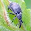 Скритнохоботнік стебловий капустяний (ceuthorrhynchus quadridens)