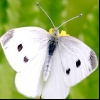Репная білан (pieris rapae)