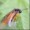 Ріпаковий пильщик (athalia rosae)