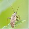 Буряковий клоп (polymerus cognatus)