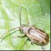 Суничний листоед (pyrrhalta tenella)