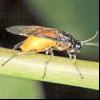 Пильщик черносмородинного жовтий (nematus leucotrochus)