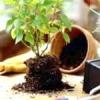 Час пересадки кімнатних рослин