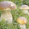 Вирощування білих грибів на дачі