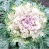 Зимова красуня - капуста декоративна