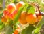 Проста таємниця абрикосів