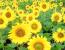 Технологія вирощування соняшнику - як отримати багато насіння без хімії і витрат