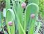 Лук слизун вирощування і розмноження